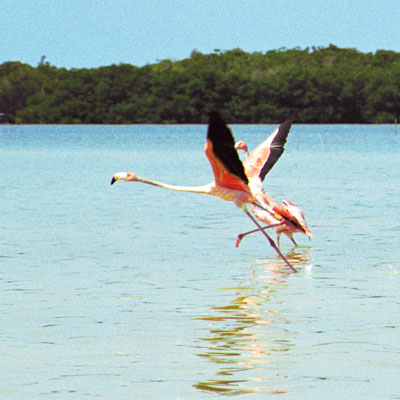 Flamingos in der Lagune von Celestún, Yucatan, Mexiko