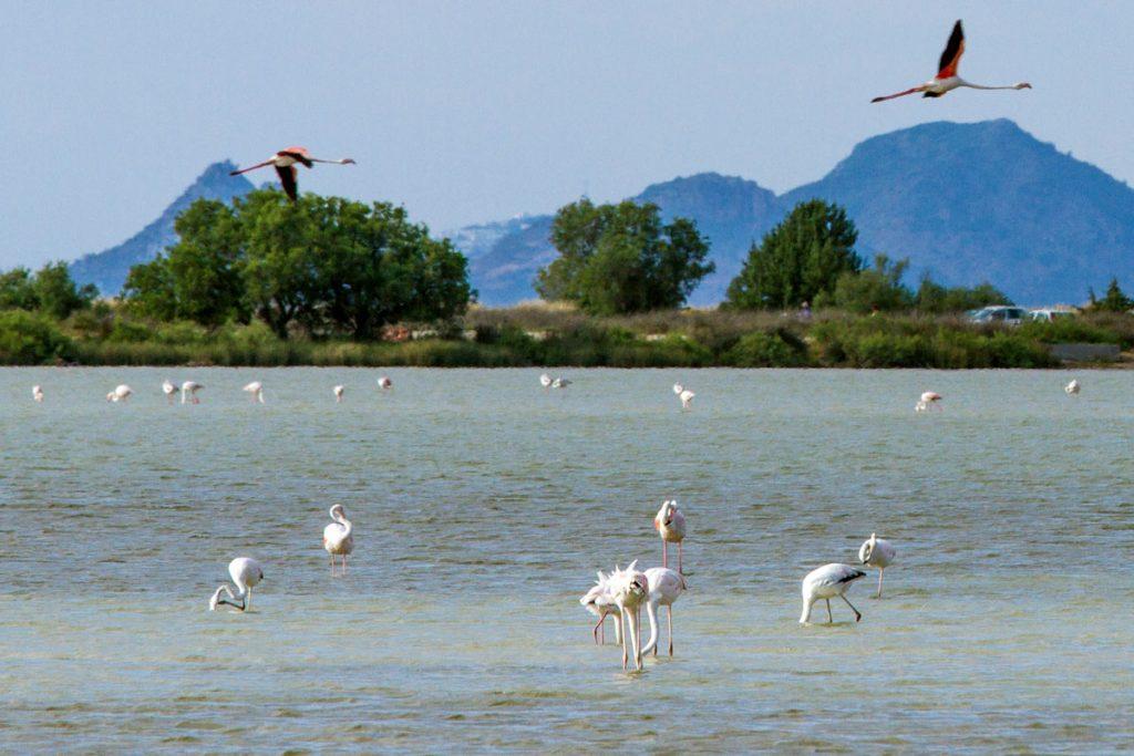 Flamingos im Salzsee bei Tigaki, Kos