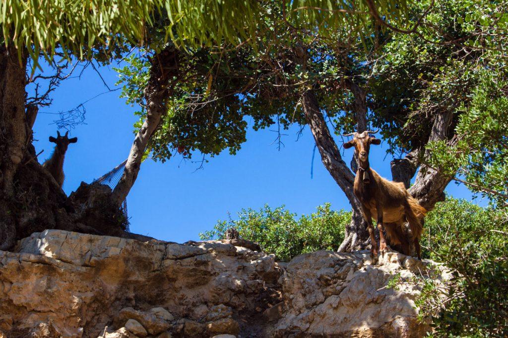 Ziegen in Kioura, Leros