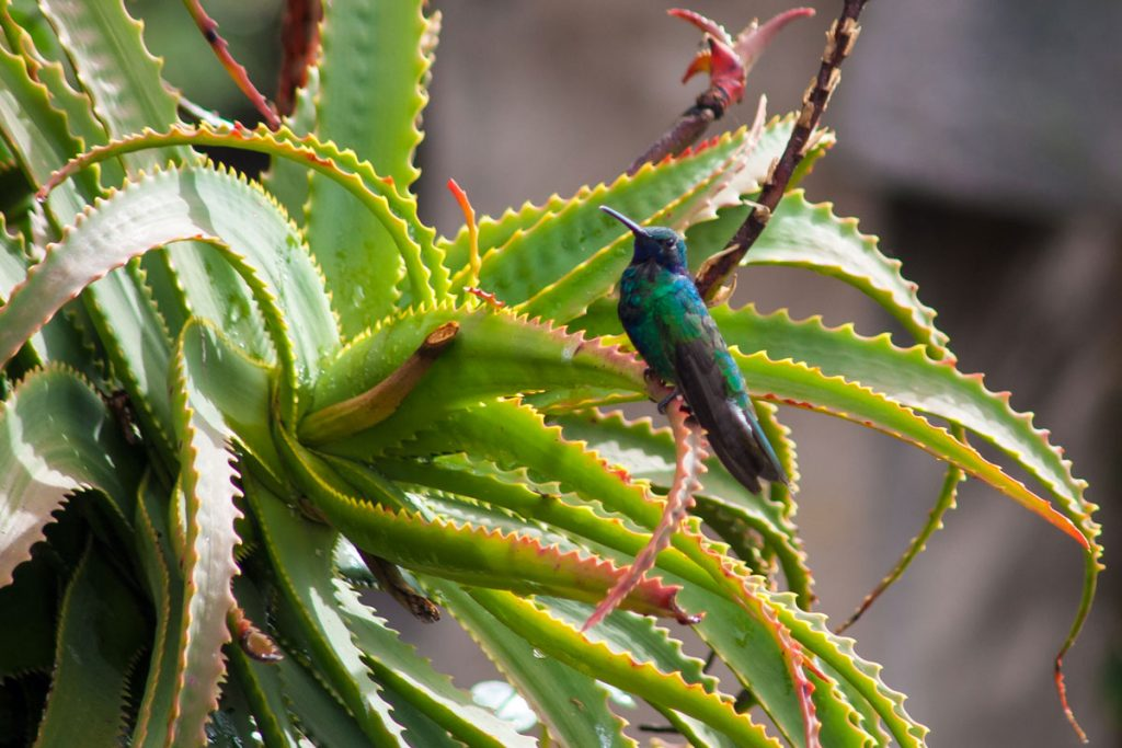 Kolibri auf der Hacienda San Agustin am Cotopaxi-Nationalpark