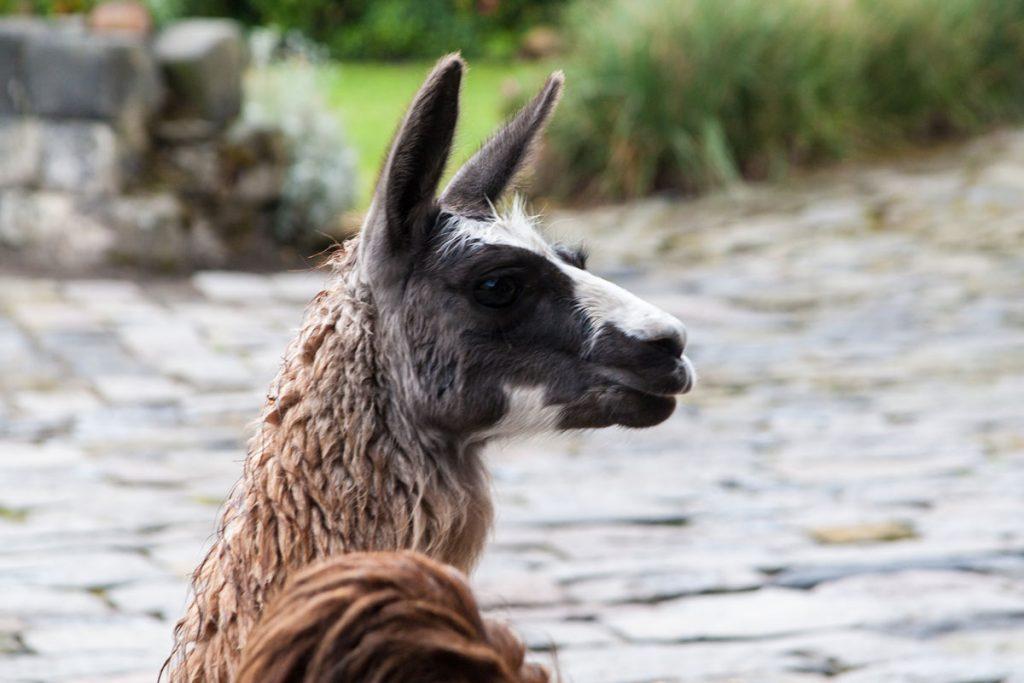 Lama auf der Hacienda San Agustin am Cotopaxi-Nationalpark
