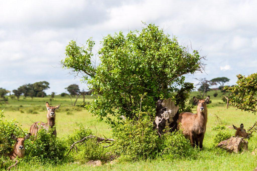 Wasserböcke sind während der Fußsafari im Grumeti WMA im Norden Tansanias gut zu beobachten