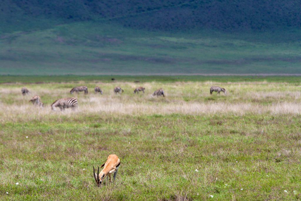 Thomson-Gazelle und Zebras im Ngorongoro-Krater, Tansania