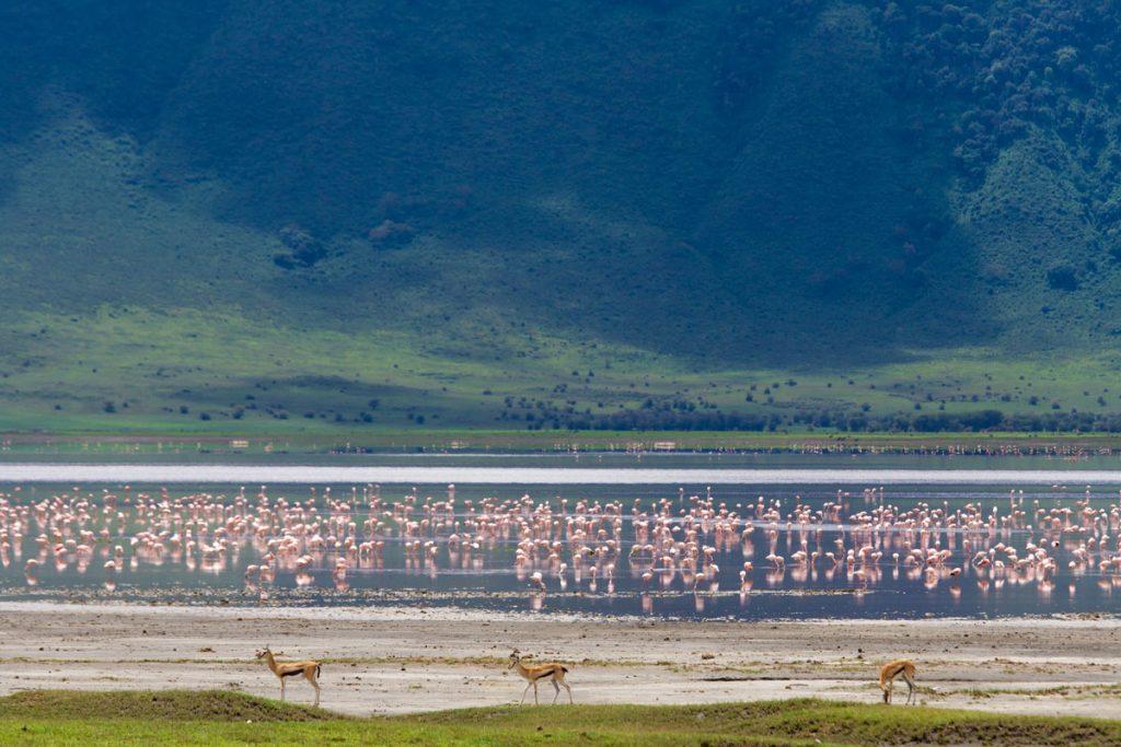 Thomson-Gazellen und Flamingos im Ngorongoro-Krater, Tansania