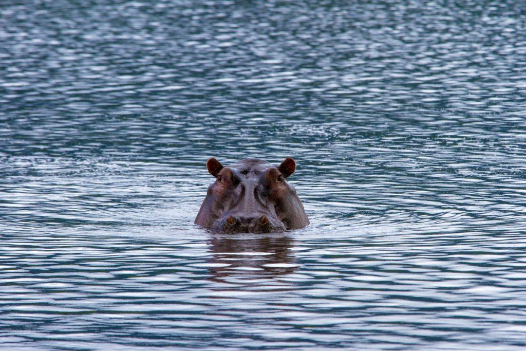 Hippo im Ngorongoro-Krater, Tansania
