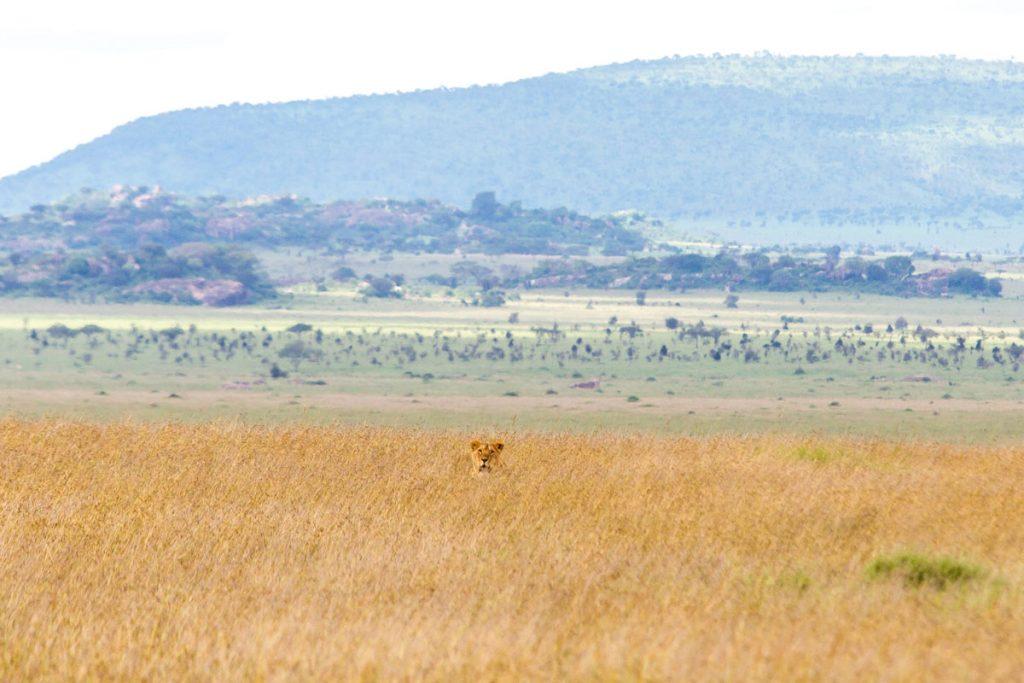Löwen verstecken sich im hohen Gras im Serengeti-Nationalpark, Tansania