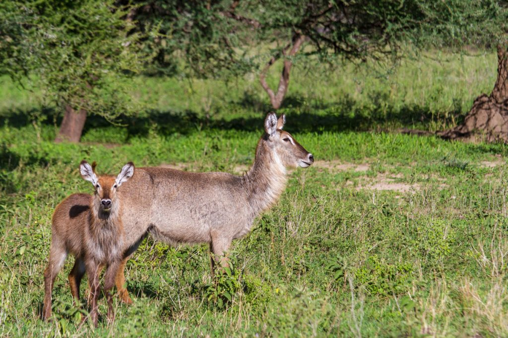 Wasserbock-Familie im Tarangire-Nationalpark, Tansania