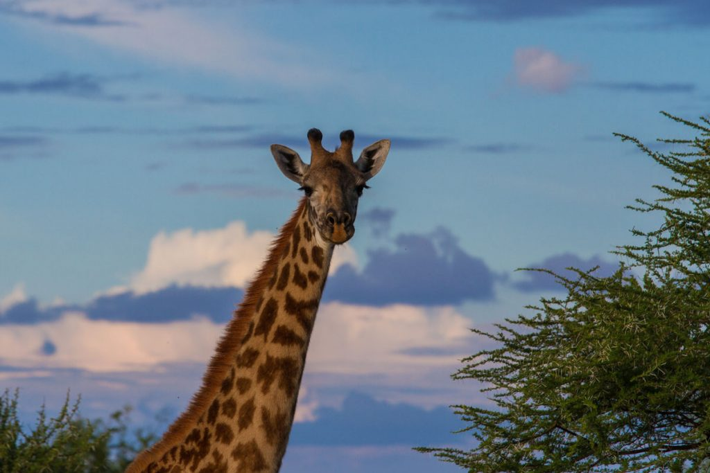 Giraffe im Abendlicht im Tarangire-Nationalpark des Tarangire-Nationalparks