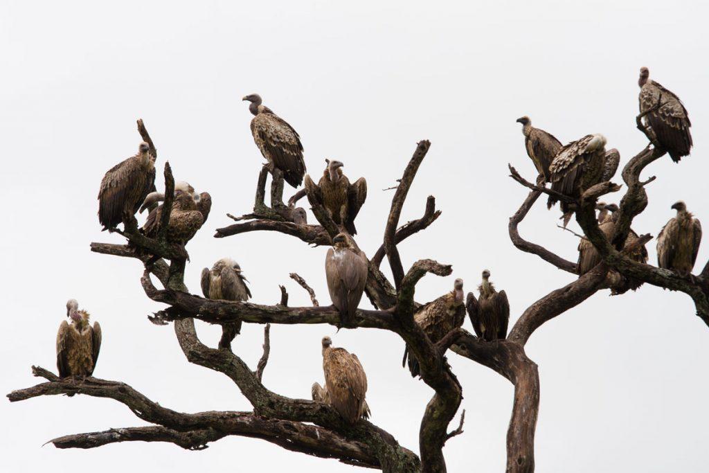 Geier im Tarangire-Nationalpark, Tansania