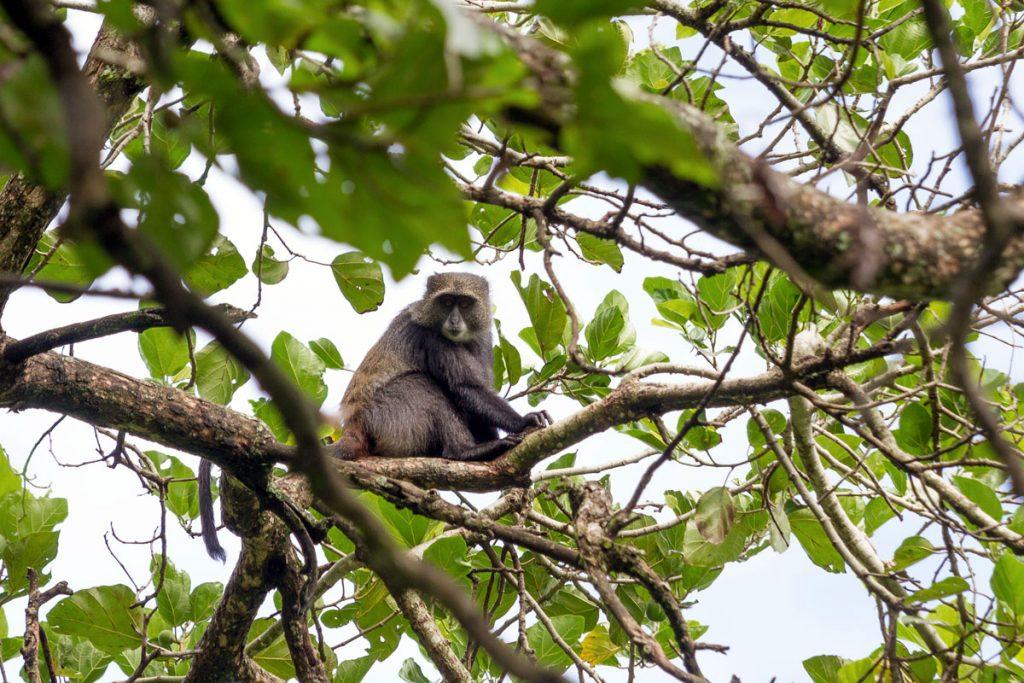 Sichtung von Affen während der Buschwanderung im National Artificial Insemination Centre (NAIC), Usa River, Tansania