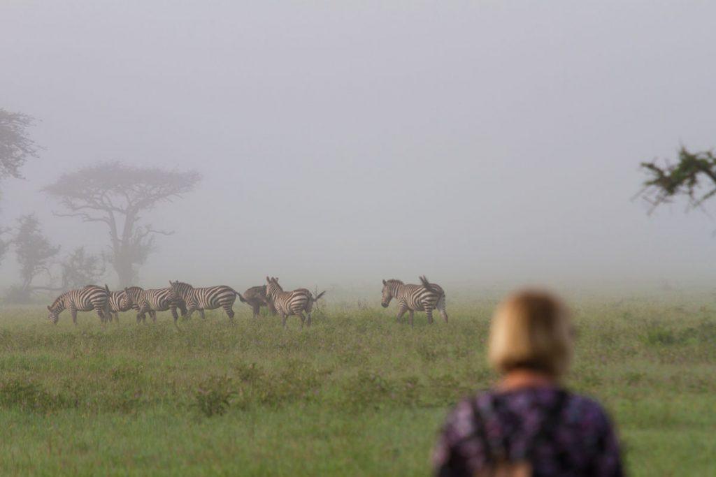 Zebras sind während der Fußsafari im Grumeti WMA im Norden Tansanias gut zu beobachten