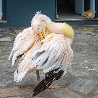 Der einsame Pelikan auf dem Marktplatz ist ein Wahrzeichen der griechischen Kykladeninsel Tinos